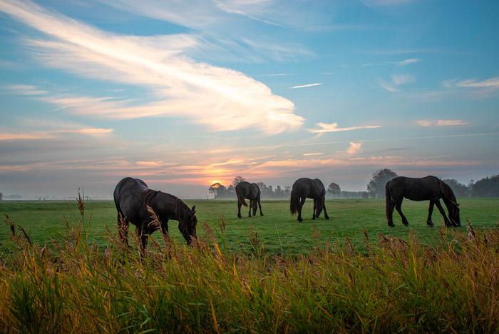 4 caballos frisones
