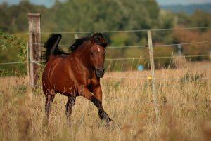 caballo árabe pura sangre